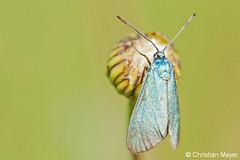2014.05.17 - 9567 - Turquoise de la globulaire St Dégan © (chmeyer51) Tags: insecte papillon turquoisedelaglobulaire lépidoptère zygaenidae procridinae jordanitaglobulariae adscitaglobulariaehb