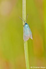 2014.05.17 - 9581 - Turquoise de la globulaire St Dégan © (chmeyer51) Tags: insecte papillon turquoisedelaglobulaire lépidoptère zygaenidae procridinae jordanitaglobulariae adscitaglobulariaehb