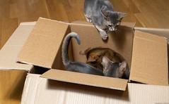 Cardboard Boxes 4 (peter_hasselbom) Tags: cat cats kitten kittens abyssinian blue ruddy usual 3cats 3kittens 12weeksold cardboardbox cardboard box boxes hardwoodfloor flash 1flash
