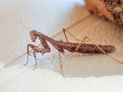 Geomantis larvoides wingless mantid (mickmassie) Tags: algarve portugal