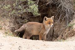 Red fox cub (Vulpes vulpes) Vos pup (Ron Winkler nature) Tags: fox vulpesvulpes vulpes vos canid canidae predator carnivore mammal mammalia nature wildlife netherlands nederland europe canon 5div 100400ii