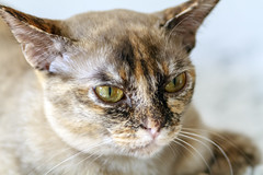 20190808 - 151427 - IMG_8557 - 7D (Susanne & Henrik Dunér) Tags: cat gato kowka katze chat māo qut katt beige white eyes nose whiskers ears vit ögon nos morrhår öron pupil