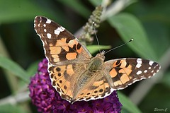 Painted Lady  (Vanessa cardui) (Eleanor (New account))) Tags: insect butterfly paintedladybutterfly garden stanmore uk england nikond7100 august2019 coth5