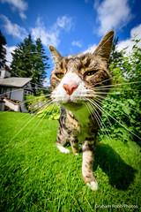 Oscar prowls (grahamrobb888) Tags: nikon nikkor nikond500 d500 105mm nikkor105mmf18 grahamrobbphotos pet animal mammal oscar cat sunny sun sunlight garden homegarden