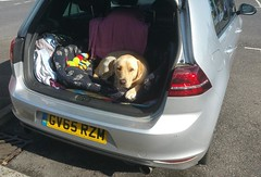 Yogi on his journey home (2) (andreboeni) Tags: labrador dog chien hund perros dogs chiens hunden vw golf gti volkswagen