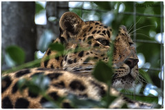 I Taught I Saw a Puddycat...... (Missy2004) Tags: nikkor70300mmf4556afsifedvr marwellzoo amurleopard leopard feline 119picturesin2019 44119