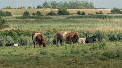 Galloway-Herde (Sylsine) Tags: deutschland natur landschaft galloway nordfriesland beltringharderkoog tiere pflanzen nordsee schleswigholstein rinder