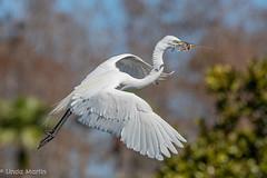 Great Egret (Linda Martin Photography) Tags: gatorland ardeaalba usa nature wildlife greategret animal florida bird naturethroughthelens coth coth5 ngc npc