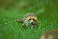 freaky foxy friday (Paul wrights reserved) Tags: fox foxes foxy friday bokeh wildlife wildlifephotography wildanimal nature naturephotography anger angry bokehphotography bokehlicious animal animals animalantics animalportrait