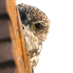 Mochuelo europeo o mochuelo común ( Athene noctua)  #mochueloeuropeo #mochuelocomún #athenenoctua #seobirdlife #nature #naturaleza #nofilters #sinfiltros #summer #verano #algete #madrid #spain #birdingspain #fotografianaturaleza #birdwatching #birdsplace (dianavillarroyadejongh) Tags: birdsplace birdingspain nofilters birdwatching madrid athenenoctua mochuelocomún algete summer fotografianaturaleza seobirdlife verano nature sinfiltros mochueloeuropeo spain naturaleza