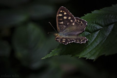 Speckled Wood II (shawn~white) Tags: summer forest woodland butterfly dark insect wonder woods speckledwood enchanting parargeaegeria gogerddanalltddel