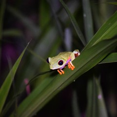 Red-eyed Treefrog (danglasspool) Tags: redeyedtreefrog red treefrog frog green costarica night amphibian herptile jungle rainforest humid hot wildlife nature animal animalplanet danglasspool explorerdan nikon nikond3300 d3300