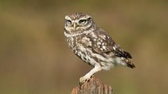 Little Owl (Distinctly Average) Tags: phillluckhurst distinctlyaverage wwwdistinctlyaveragecouk wildlife herts hertfordshire owl littleowl handheld bird canon 7dmark2 100400ii