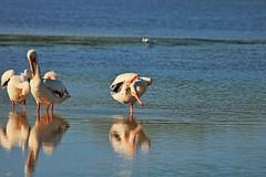 Eka Pada Sirsasana (Michiale Schneider) Tags: pelican white bird nature yogapose water dingdarlingwildliferefuge sanibelisland florida michialeschneiderphotography