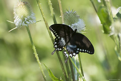 Butterfly 2019-109 (michaelramsdell1967) Tags: butterfly butterflies nature macro animal animals insect insects black green beauty beautiful pretty lovely vivid vibrant detail delicate fragile field thistle meadow summer bug bugs swallowtail bokeh wings outdoors zen