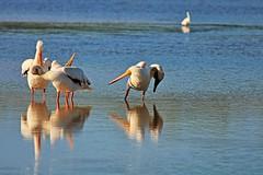 Hey, Margaret-Try This (Michiale Schneider) Tags: pelican white bird nature water dingdarlingwildliferefuge sanibelisland florida michialeschneiderphotography