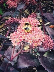 Golden wings (tanith.watkins) Tags: smileonsaturday🌞 golden bumblebee beeautiful
