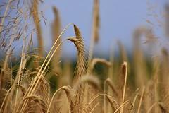 The rye (eowina) Tags: rye nature