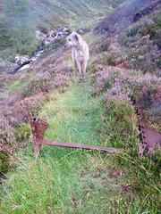Karhu on the Dalmunzie Railway (andywalker1) Tags: andrewwalker dalmunzierailway karhu wolfhound