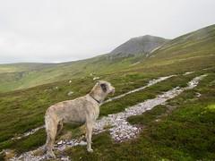 Karhu on Carn Chalamain (andywalker1) Tags: andrewwalker carnchalamain karhu wolfhound