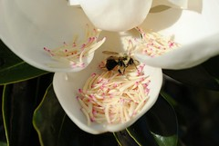 The Eye of the Bee is upon Us (Zoom Lens) Tags: smileonsaturday beeautiful bee micro macro magnoliablossom bloom flower magnolia