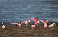 The Dance Class (Michiale Schneider) Tags: roseatespoonbills pink birds nature water dingdarlingwildliferefuge sanibelisland florida michialeschneiderphotography