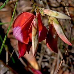 Running Postman Wildflower (womboyne7) Tags: 100xflowers2019 red pea flower green leaf vine climbing southeastqueensland