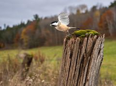 chickadee's prize (marianna armata) Tags: p2950043 fence friday happy hff chickadee bird worm post moss landscape mariannaarmata