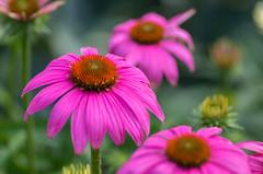 Belles of August (~DGH~) Tags: 2019 alberta august canada edmonton pentaxk50 coneflowers macro petals pink smcpentaxdfamacro100mmf28wr ~dgh~