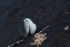 Plumbeous Sierra-Finch (Geospizopsis unicolor) (Kremlken) Tags: geospizopsisunicolor finches andes arica chilean southamerica bird birds birding birdwatching mountains nature winter nikon500 phrygilusunicolor