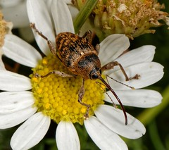 Photo of Curculio Species Weevil