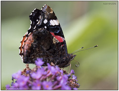 Red-Admiral_8150266 (HJSP82) Tags: 20190815tophill redadmiral butterfly
