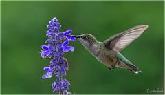 Ruby-throated Hummingbird (Summerside90) Tags: birds birdwatcher hummingbirds rubythroatedhummingbird august summer backyard garden nature wildlife ontario canada