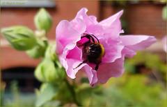 Glücksfall Bienchen! (magritknapp) Tags: blüte biene bokeh makro blossombeebokehmacro blossom bee abeille fleur flor abeja flores abelha fiore ape bloemen bij kwiat pszczoła