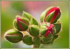 Geranie (Rolf Dietrich Brecher) Tags: lumixg9 macro geranie geranienknospen grün blume blüte
