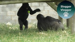 Gorilla Lope And Shufai Outside (SloggerVlogger) Tags: gorilla lope and shufai outside
