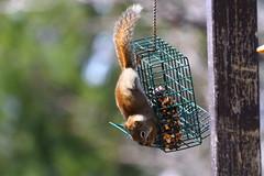 Écureuil IMG_0206 (Paul_Paradis) Tags: wildlife animal faune summer ete ecureuil squirrel nature natural canada quebec iledorleans