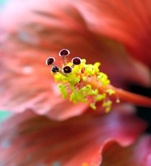 DSC_0607e ~ Macro (BDC Photography) Tags: pipecreek texas usa flower hibiscus bwfpro62mm010uvhaze1xfilter nikonafmicronikkor60mmf28dlens nikon nikond3