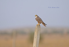 A Soothing Portrait... (Anirban Sinha 80) Tags: nikon d610 fx 500mm f4 ed vrii n g bird falcon bokeh raptor desert nature natural wildlife