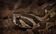 Israeli Viper (TalNov) Tags: snake active amazing nature macro hairy closeup megical small night black wildlife israel viper white hiding dark eye desert sand