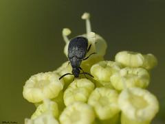 ...Bruchidius sp? (Geminiature Nature+Landscape Photography Mallorca) Tags: coleoptera coleóptero kevers beetles mallorca macro raynox black zwart negro