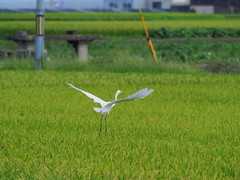 Great egret (Ardea alba, ダイサギ) (Greg Peterson in Japan) Tags: 野鳥 wildlife tsuji ritto birds 栗東市 shiga japan 滋賀県 ダイサギ egretsandherons shigaprefecture
