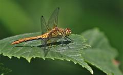 Ruddy  Darter Dragonfly  -  Female    (Sympetrum sanguineum) (nick.linda) Tags: ruddydarterdragonflyfemale sympetrumsanguineum dragonflies odonata wildandfree leaf northeastengland canon7dmkii canon100400mkll oneshot handheld