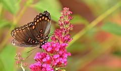 Red-spotted Purple butterfly (deanrr) Tags: butterfly nature outdoor butterflyonflower summer 2019 morgancountyalabama alabamanature alabama flower butterflybush bokeh redspottedpurple tamron