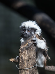 HOLDS HIS GROUND (Michael Leshets) Tags: mammal looking zoo cute monkey stare animal africa tree nature portrait bokeh