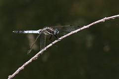 Orthetrum albistylum (Marc ALMECIJA) Tags: dragonfly libellule insecte insect outdoor outside nature natur macro proxi wildlife panasonic g9 100400 scamandre gard