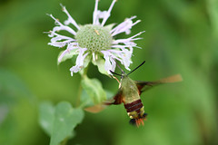 hummingbird moth clear wing august 15 2019 (Mel Diotte) Tags: hummingbird moth clear wing nature wild green fast insect windsor ontario canada mel diotte explore