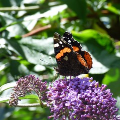 Red Admiral on buddleia (NellyMoser) Tags: redadmiral