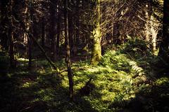 Illuminated spruce (Christian Hacker) Tags: trenchfordreservoir dartmoor nationalpark clover spruce illuminated light woodland forest dark walk pathfinderguide dartmoorshortwalks landscape nature outdoors hike devon uk canoneos50d tamron1750mm fern vegetation