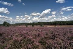 """Lüneburger Heide in voller """"Blütenpracht"""" (Fritz Zachow) Tags: lüneburger heide nordheide heideblüten wolken bäume himmel deutschland niedersachsen"""